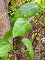 pachygone ovata leaves