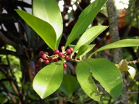 ardisia elliptica fruits