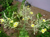 lactuca sativa that has bolted
