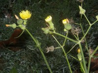 sonchus oleraceus buds flowers and fruits