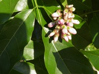 millettia pinnata flowering