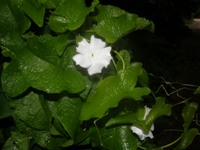 thunbergia fragrans leaves & flowers