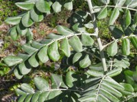 sophora tomentosa leaves