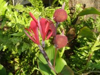 canna indica fruits forming