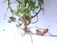 arachis hypogaea roots and peanuts