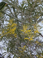 acacia leptostachya phyllodes and flower spikes