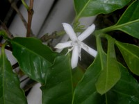coffea arabica flower