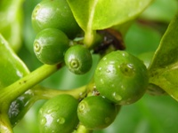 coffea arabica green berries