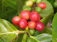 coffea arabica ripe berries