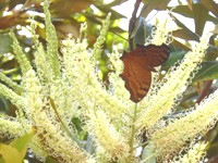 grevillea baileyana with butterfly