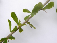 pittosporum spinescens leaves and thorns