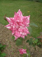 rosa hybrid tea candy stripe
