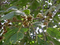 alectryon tomentosus fruits